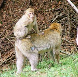Affen Eifel