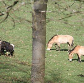 Wildpferde Eifel